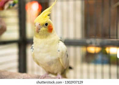 Detailed, shallow focus of an adult, mail Cockatiel seen in his opened cage. Details of this handsome bird, his yellow plumage and beak are clearly visible. Part of a breeding pair.