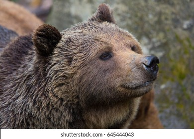 detailed side view portrait of natural brown bear
