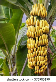 Detailed view to banana tree with a bunch of growing ripe yellow bananas.