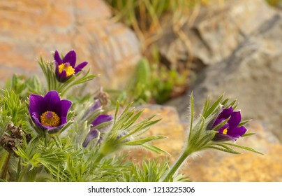 Detailed view of blossoms of a violin crocus