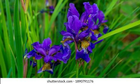 Detailed view of blue iris flowers. Background with green leaves. - Telekgerendas, Bekes county, Hungary, May 2020, bekesstock, csabaprog