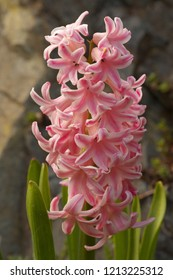 Detailed view of a common hyacinth - hyacinthus orientalis