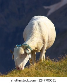 Detailed view of a grazing sheep on the mountain meadow