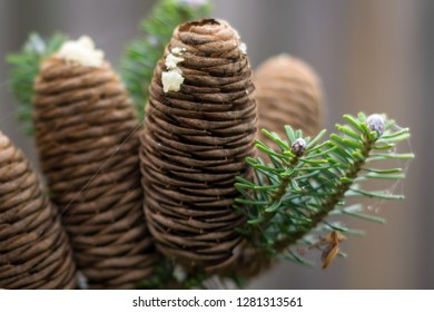 Detailed view of mature cones of Abies koreana (korean fir) with resin