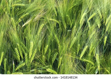 Detailed view on agricultural crop fields growing on a sunny day in high resolution
