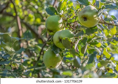 Detailed view of quince fruits on tree, typical fruit of the region, in Viseu, Portugal
