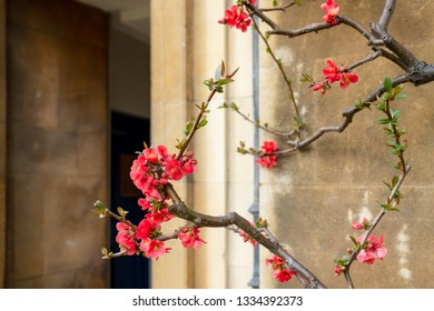 Detailed view of a rare, flowering plant seen climber up the exterior wall of an old building. Having been recently pruned during the spring.