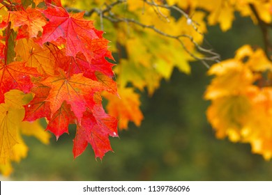 Detailed view of red and yellow maple leaves at autumnal time