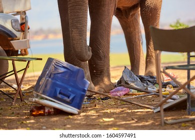 Detailed view of a trunk of the african elephant destroying camping equipment. Safety on safari. Dangerous situation. African elephant in the middle of destroyed safari camp. Mana pools, Zimbabwe.