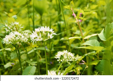 Detailed view of white flowers of wild garlic leaves on the green meadow with sunlight