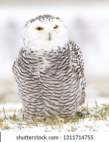 Detailed view of a young female of a snowy owl with dark spots of its plumage standing on the meadow covered with snow