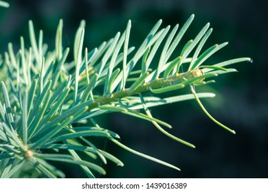 Detailed view of a young shoot of Abies concolor (white fir). Large blue - green soft needles.
