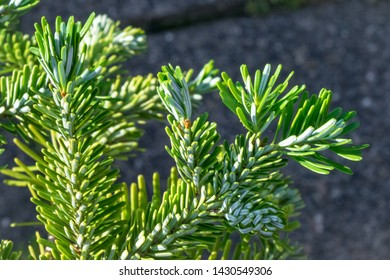 Detailed view of young twigs of Korean fir (Abies koreana) during springtime. Beautiful soft silvery green colored needles.