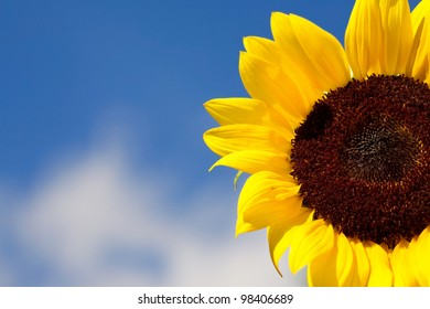 Details of a beautiful sunflower and against a summer blue sky.