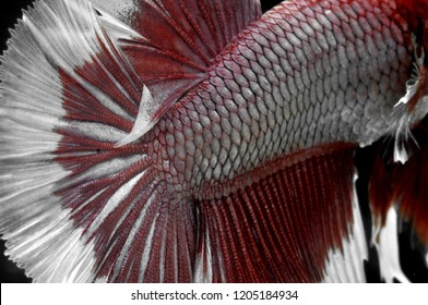 details of betta or cupang fish scales