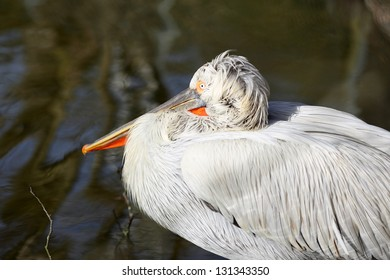 Details of a Dalmatian pelican in front of a pond