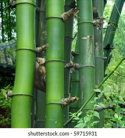 details of green bamboo : Bambusa sinospinosa McClure