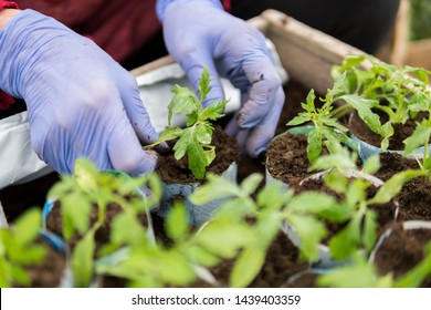 Details of hands of a farmer planting young seedlings of tomatoes inside of a greenhouse during early spring