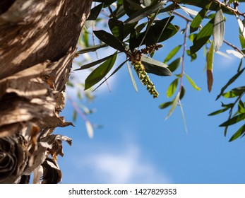 Details of leaves and bark of eucalyptus tree