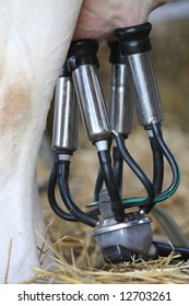 details of milking machines connected to cow udders