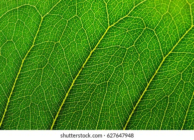 Details of natural green leaf texture with perfect vein pattern for background wallpaper and design
