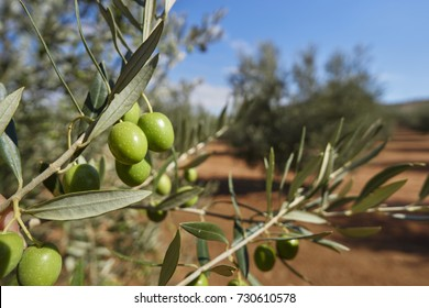 Details with olives and plantation of olive trees in Mollina, Malaga