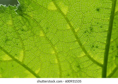 Details, patterns and texture of pumpkin leaf with backlit form sunlight for background.