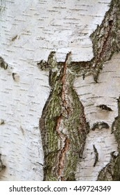 Details receiving a birch trunk with bark