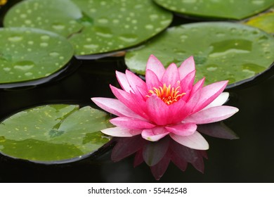 details of water Lily with flower