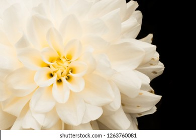 Details of white and yellow dahlia flower macro close up photography. Photo in colour emphasizing texture, contrast and the abstract intricate floral patterns against dark black background.