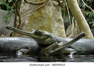 Details of wild gharial reptiles in water