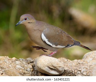 A determined White-winged Dove (Zenaida asiatica) walking across a rocky landscape in the Texas Hill Country