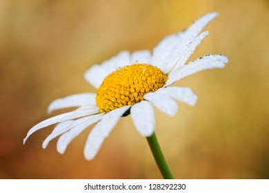 Detial of oxeye daisy