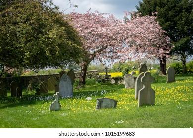 DETLING, KENT, UK, MAY 2015 - Cherry tree in blossom in Detling churchyard, Kent, UK