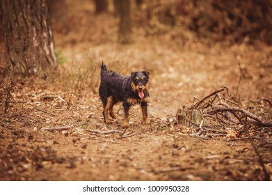 Deutscher Jagdterrier, German hunting terrier black and tan, in the forest.