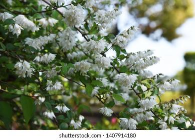 Deutzia crenata flowers (Japanese snow flower / Slender deutzia)