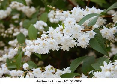 Deutzia crenata flowers (Japanese snow flower / Slender deutzia). Fuzzy Deutzia, Deutzia scabra double flowered in bloom
