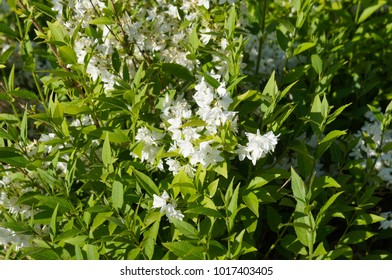 Deutzia gracilis or slender deutzia white flowers on green shrub
