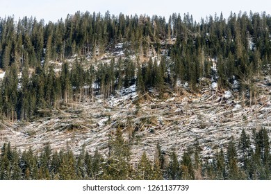 the devastation of a forest of firs struck by the storm in the Trentino Alto Adige region, Italy