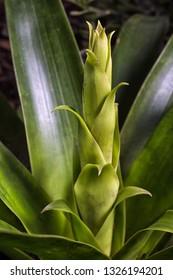 developing bromelia flower