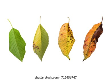 Development process of a green cherry leaf on white background
