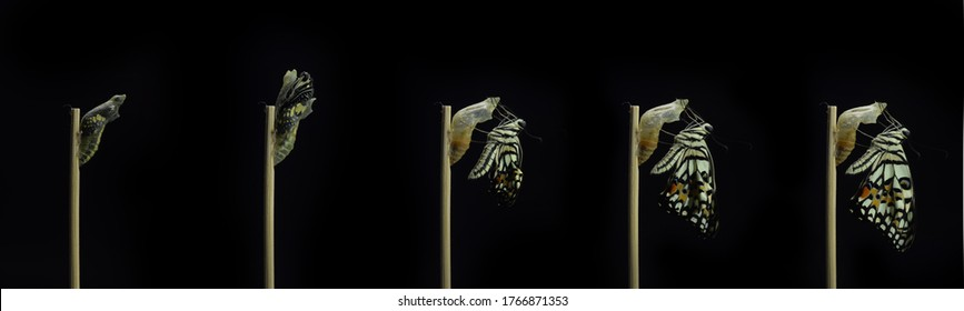 development stages of lime Butterfly (Papilio demoleus malayanus) hatching out of pupa to butterfly. Isolated on black background.