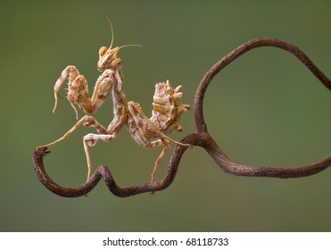 A devil flower mantis nymph is sitting on a vine.