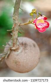 Devil Tree Flower or Alstonia scholaris