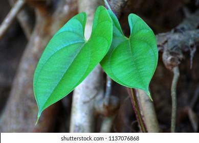 Devil's iIvy , Golden pothos , Hunter's-robe Leaves at rain forest