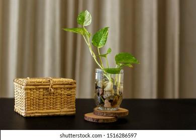 Devil's ivy & Cane Box