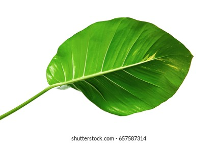 Devil's ivy, Golden pothos, Epipremnum aureum, Heart shaped leaves vine with large leaves isolated on white background, with clipping path
