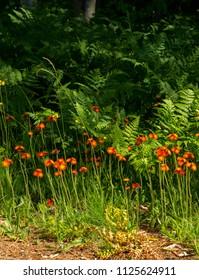Devil's Paint Brush or Orange Hawkweed flowers / Hieracium aurantiacum