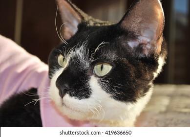 Devon Rex, cat, black & white, gentle view