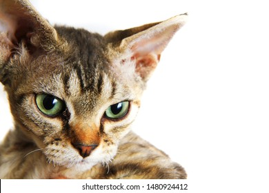 devon rex cat isolated on the white background